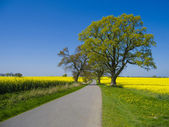 Country road through canola field — Stock Photo