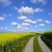 Agrarian road in canola field — Stock Photo