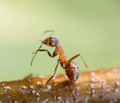 Body Care of the ant — Stock Photo