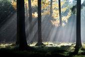 Sluneční paprsky v podzimním lese — Stock fotografie