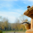 Nuthatch in bird feeder — Stock Photo