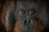 Eyes of an orangutan — Stock Photo