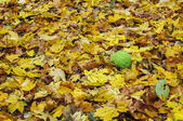 Osage orange in autumn leaves — Stock Photo