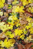 Fall leaves — Stock Photo