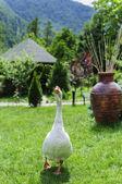 Bílá husa na zelené trávě — Stock fotografie