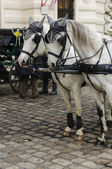 Chevaux de vienne — Photo