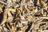 Brown fallen leaves on the ground. — Stock Photo