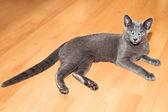 Joven gato azul ruso — Foto de Stock