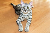 Young egyptian mau — Stock Photo