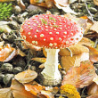 Amanita poisonous mushroom in nature — Stock Photo