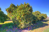Orange fruit tree with ripe oranges — Stock Photo