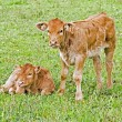 New born calves in the meadow in springtime — Stock Photo
