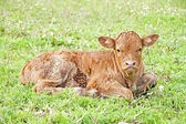 New born calf in the meadow in springtime — 图库照片