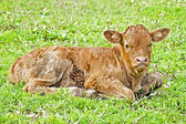 New born calf in the meadow in springtime — Foto Stock