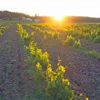 Vineyard in Portugal, Alentejo region at sunset — Stock Photo