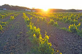 Vineyard in Portugal, Alentejo region at sunset — Stock Photo