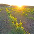 Stock Photo: Vineyard in Portugal, Alentejo region at sunset