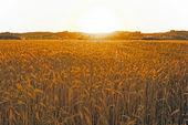 Sunset over the corn fields — Stock Photo