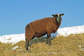 冬季在堤上的黑羊 — 图库照片