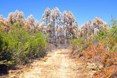 Burnt eucalyptus forest in Portugal — Stock Photo