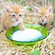 Young kittens drinking milk — Stock Photo