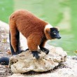 Red ruffed lemur — Stock Photo #33169605