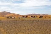 Camels in Sahara Desert — Stock Photo