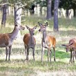 Deers in the forest — Stock Photo