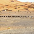 Camels in the Erg Chebbi Desert, Morocco — Stock Photo