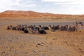 Kameler i erg chebbi öknen, Marocko — Stockfoto