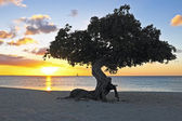 Dividivi tree — Stock Photo