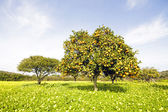 Orange trees — Stock Photo