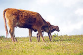 Mother cow with newborn baby calf in the countryside — Stock Photo