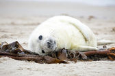 Baby Grey Seal (Halichoerus grypus) — Stock Photo