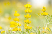 Yellow lupine in the fields from Portugal — Stock fotografie