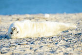 Baby Grey Seal (Halichoerus grypus) relaxing on the beach — Stock Photo