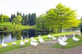 Many wild geese at a lake — Zdjęcie stockowe