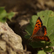 Stock Photo: Basking Butterfly