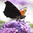 Butterfly & Buddleia — Stock Photo