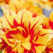 Foreground Yellow and Red Tulip — Stock Photo