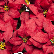 Full frame image of poinsettia flowers - Stock Photo