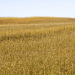 Stock Photo: Grain field and sky
