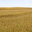Grain field and sky — Stock Photo
