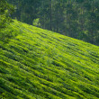 Downward tea slope — Stock Photo
