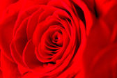 Close Up Red Rose — Stock Photo