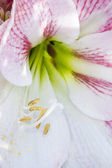 Close up white and red flower — Stock Photo