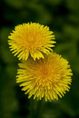 Dandelions against green background — Stock Photo