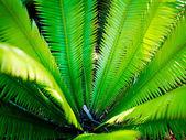 Fanned fern — Stock Photo