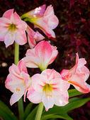 Light pink amaryllis — Stock Photo