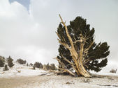 Bristlecone forrest — Stock Photo